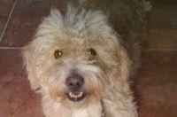 """Este perrito fue robado en Pedro León Gallo y su familia pide """"devolverlo"""""""