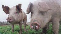 Mujer volvió a su casa y descubrió que le robaron varios bienes, dinero y dos cerdos
